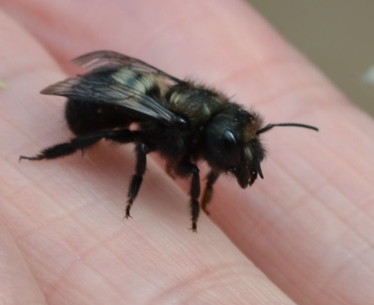 Female Bee on fingers