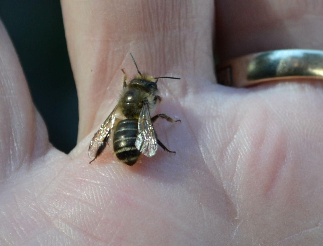 Horned Bee 4