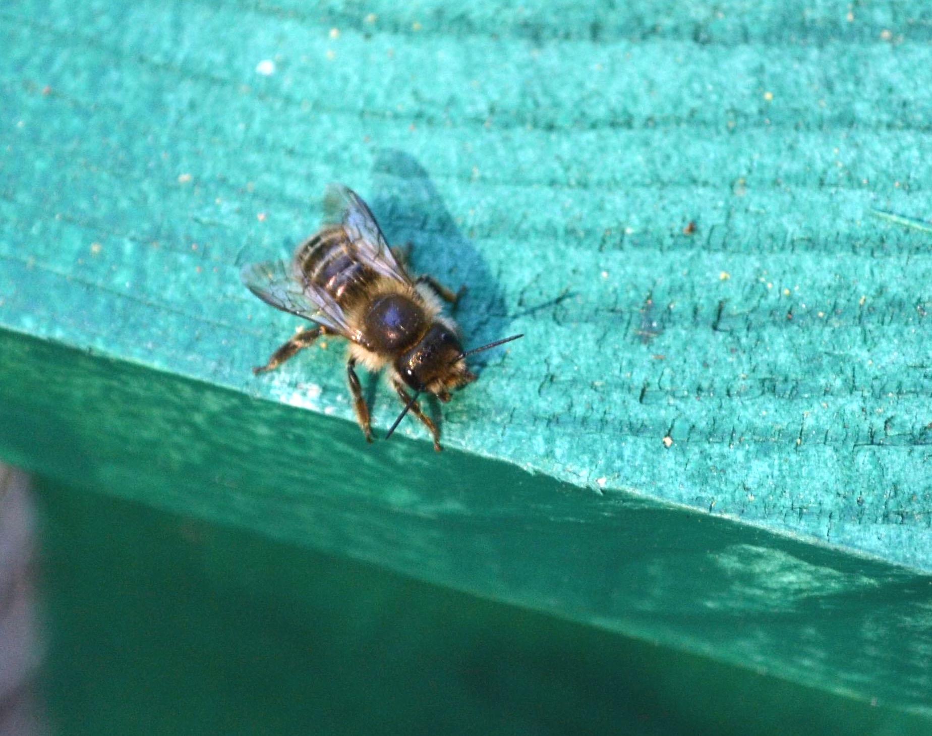 Japanese Horned Bee